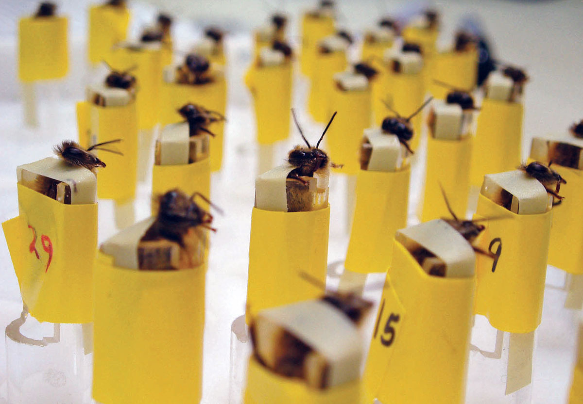 Could bees be used to detect explosives?