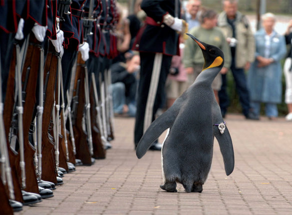 Penguin inspecting troops